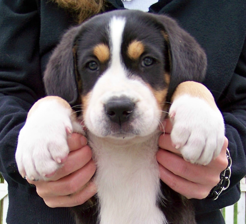AKC Greater Swiss Mountain Dog Puppies Born June 19, 2011